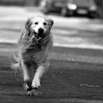 dog retriever running b&w onkel_wart flickr